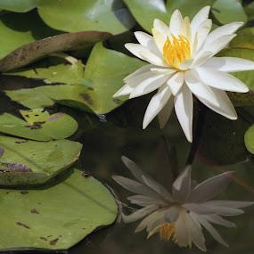 lily reflection by Skye Stevens - Flowers Single Flower (  )