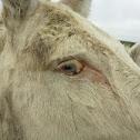 European White Donkey - Weisser Esel