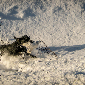 Storm with a Ptarmigan by Eugene Ball - Animals - Dogs Running ( canine, hunting, labrador, dog, lab )