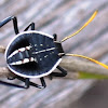 Brown Shield Bug nymph