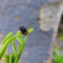 metallic blue ladybug larvae