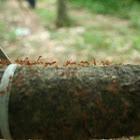 Leaf Ants