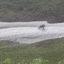 Reindeer/Caribou