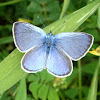 Green-underside Blue / Kozličev plavac ♂