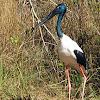 Jabiru or Black-necked Stork