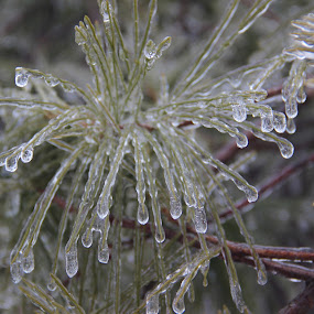 Ice Star by Deegee English - Nature Up Close Leaves & Grasses ( winter, ice, green, star, needles, frozen, pine,  )