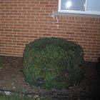 Taunton's Yew