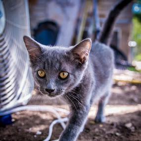 Stalking by Bob Barrett - Animals - Cats Kittens ( predator, kitten, cat, cat eyes, pet, whiskers, black cat )