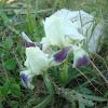 Iris attica