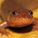 Spotted Dusky Salamander