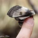Nevada Buck Moth