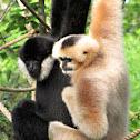 White-Cheeked Gibbons - Nashville Zoo