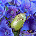 Rutelinae beetle