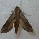 Hawk moths