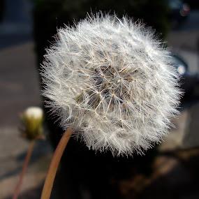 Dandelion 2 by Lolotan Dalimunthe - Flowers Single Flower ( wild, dandelion, white, brussels, lolotan )
