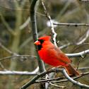 Cardinal, Male
