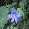 Brovalia - Amethyst Flower or Bush Violet