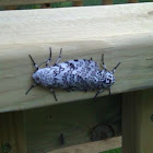 Giant Leopard Moth, mating pair