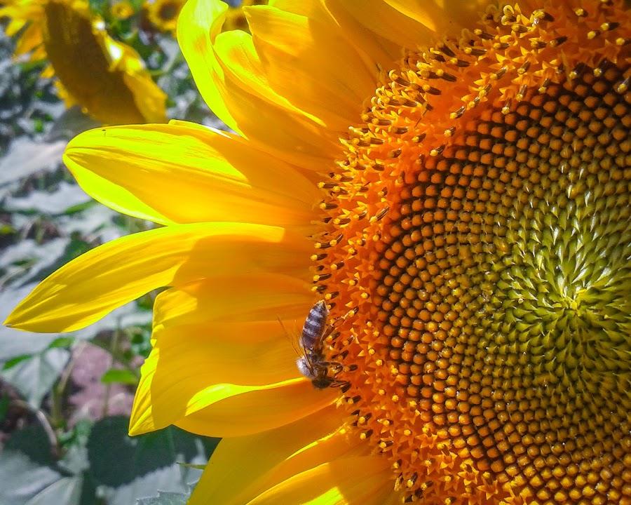 Sunflower by Davidescu Catalin - Flowers Single Flower ( #botez, #nunta, #romania, #bucuresti, #bc-foto.ro )