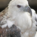 Philippine White-breasted Sea Eagle