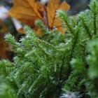Electrified Cat-tail moss