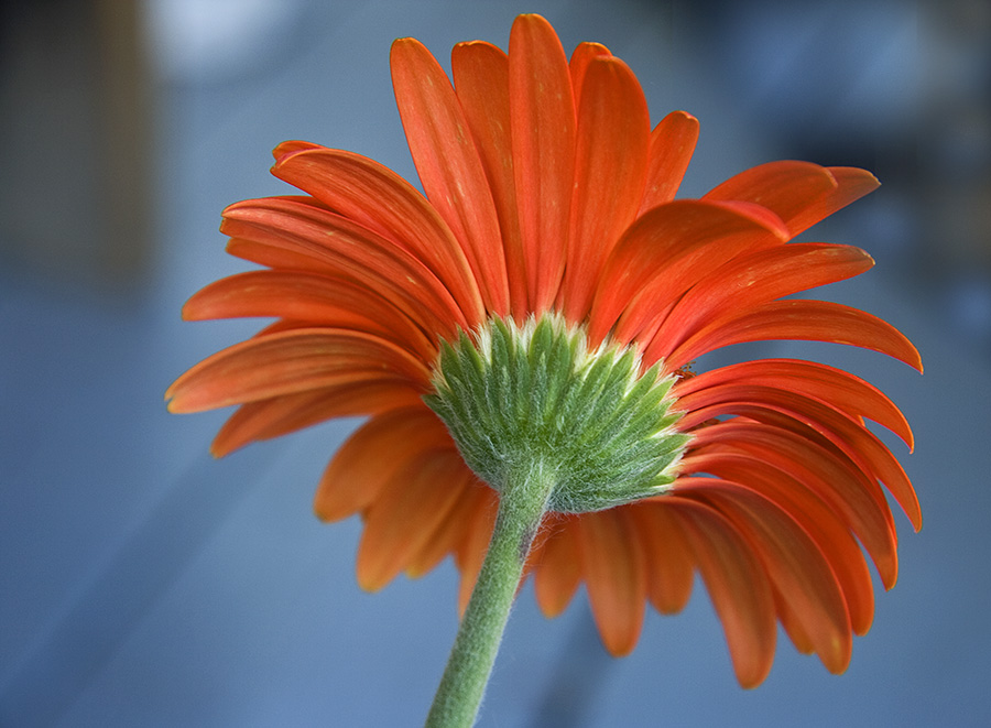 Orange Flowers by Josee Roy - Flowers Single Flower ( orange, flowers,  )
