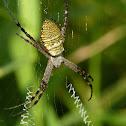 St. Andrews Cross Spider