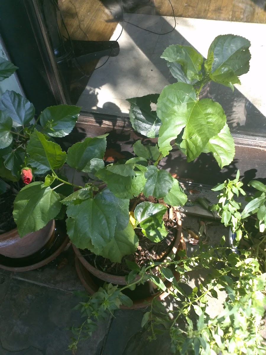 Tropical Hibiscus Creole Lady