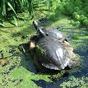 Turtle.  Pond slider