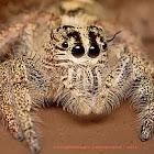 Hyllus (spider)