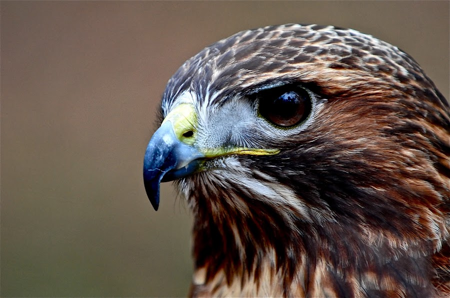 Portrait of a Raptor by Roy Walter - Animals Birds (  )