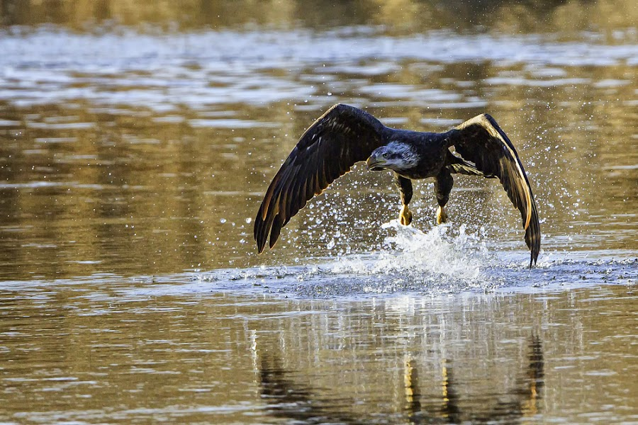 Missed Again by James Eveland - Animals Birds ( bird of prey, avian, bald eagle, raptor, fishing )