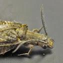 Summer fishfly