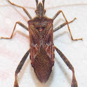 Western Conifer Seed Bug.