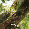 Pinson des arbres (Common Chaffinch)