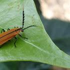 Longnosed lycid beetle