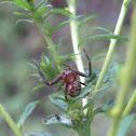 Crab Spider - Xysticus punctatus