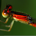 Eastern Forktail(Female)