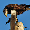 Bald Eagle eating Ruddy Duck