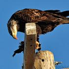 Bald Eagle eating Ruddy Duck