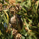 Black-fronted Bulbul