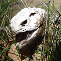 Blue tongue lizard (desiccated)