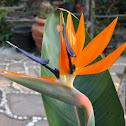 Flor d'Au del Paradís