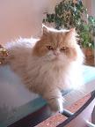 Fotos Gratis Animales - Gato Persa