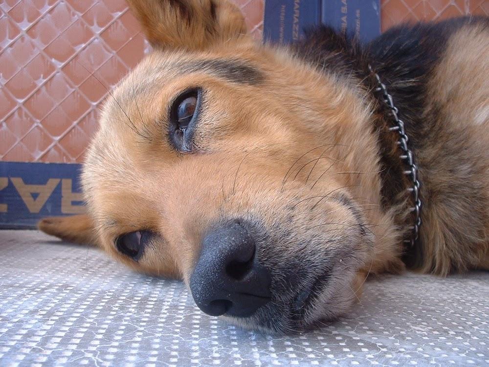 Perro tumbado Primer plano