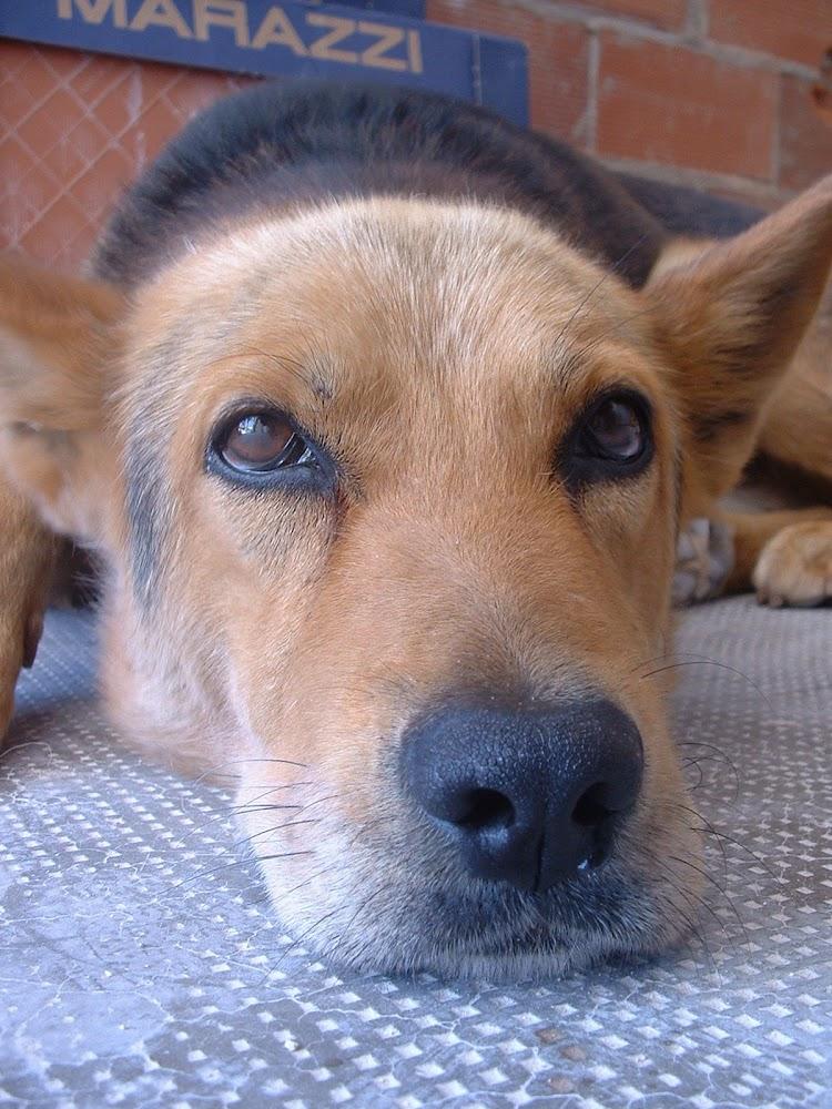 cara primer plano perro