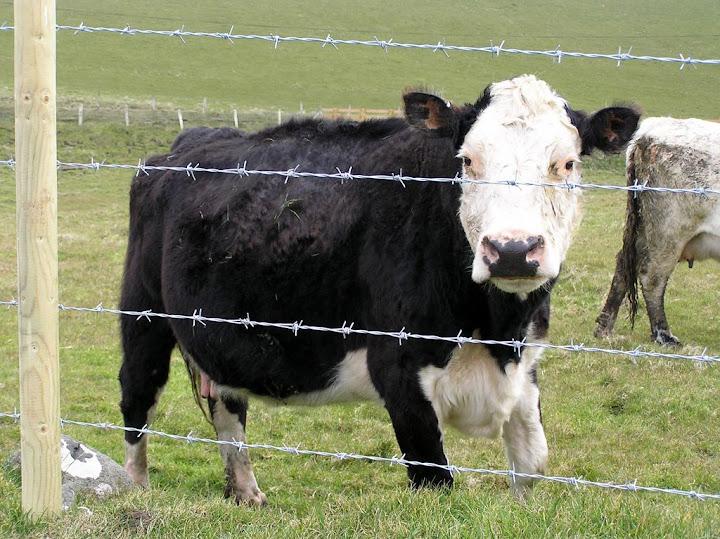 Fotos Gratis Animales - Vacas