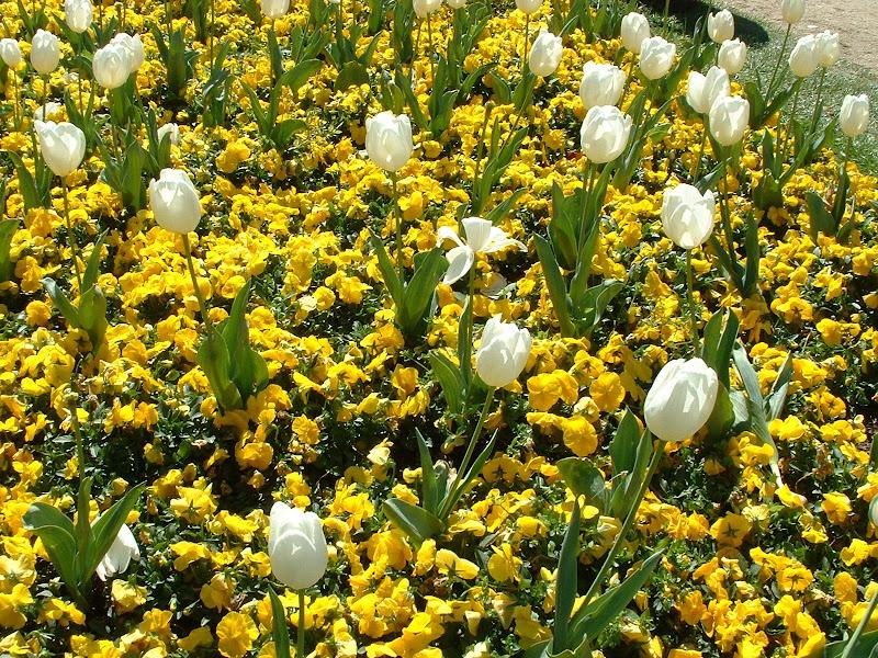 Fotos Gratis  Naturaleza - Flores - Tulipanes blancos y flores amarillas