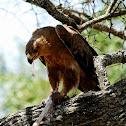 Eagle, Tawny Eagle