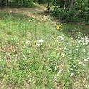 Pile wort/Fireweed